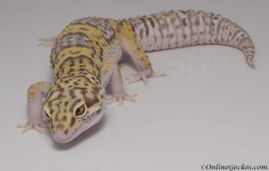 leopard-gecko-for-sale-white-and-yellow-radar-het-white-knight-female-M22F61091617F