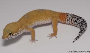 leopard-gecko-for-sale-white-and-yellow-tangerine-carrot-tail-female-M17F62080617F