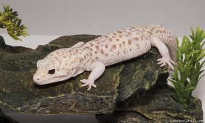 onlinegeckos-leopard-gecko-for-sale-mack-snow-radar-male