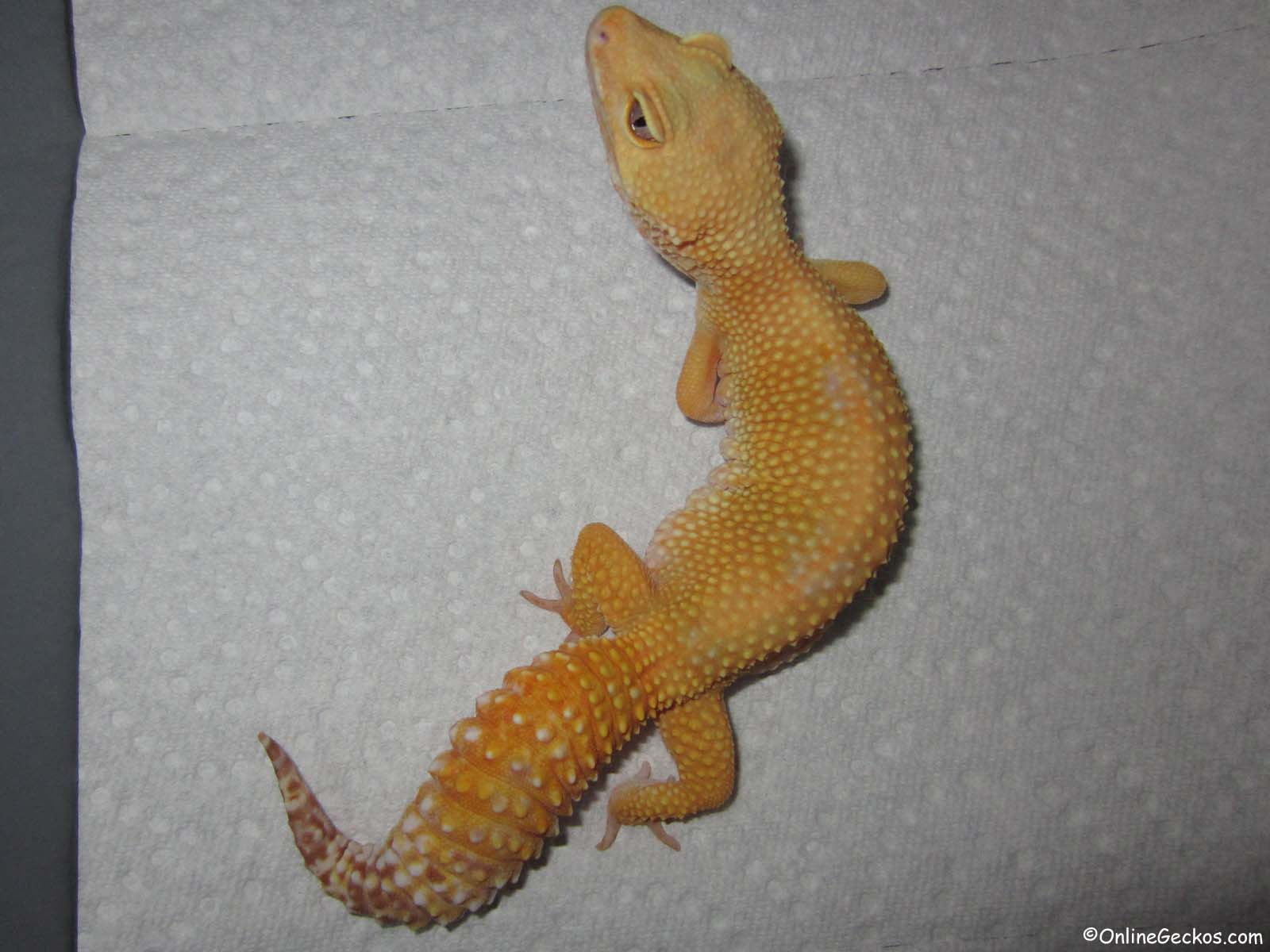 2017 Raptor For Sale >> Leopard Gecko For Sale