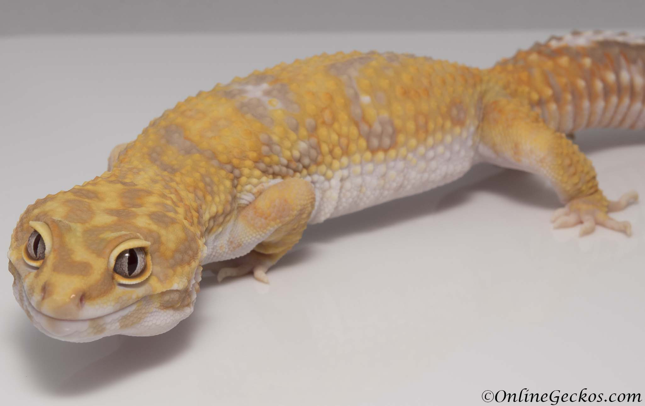 Albino Tangerine Leopard Gecko