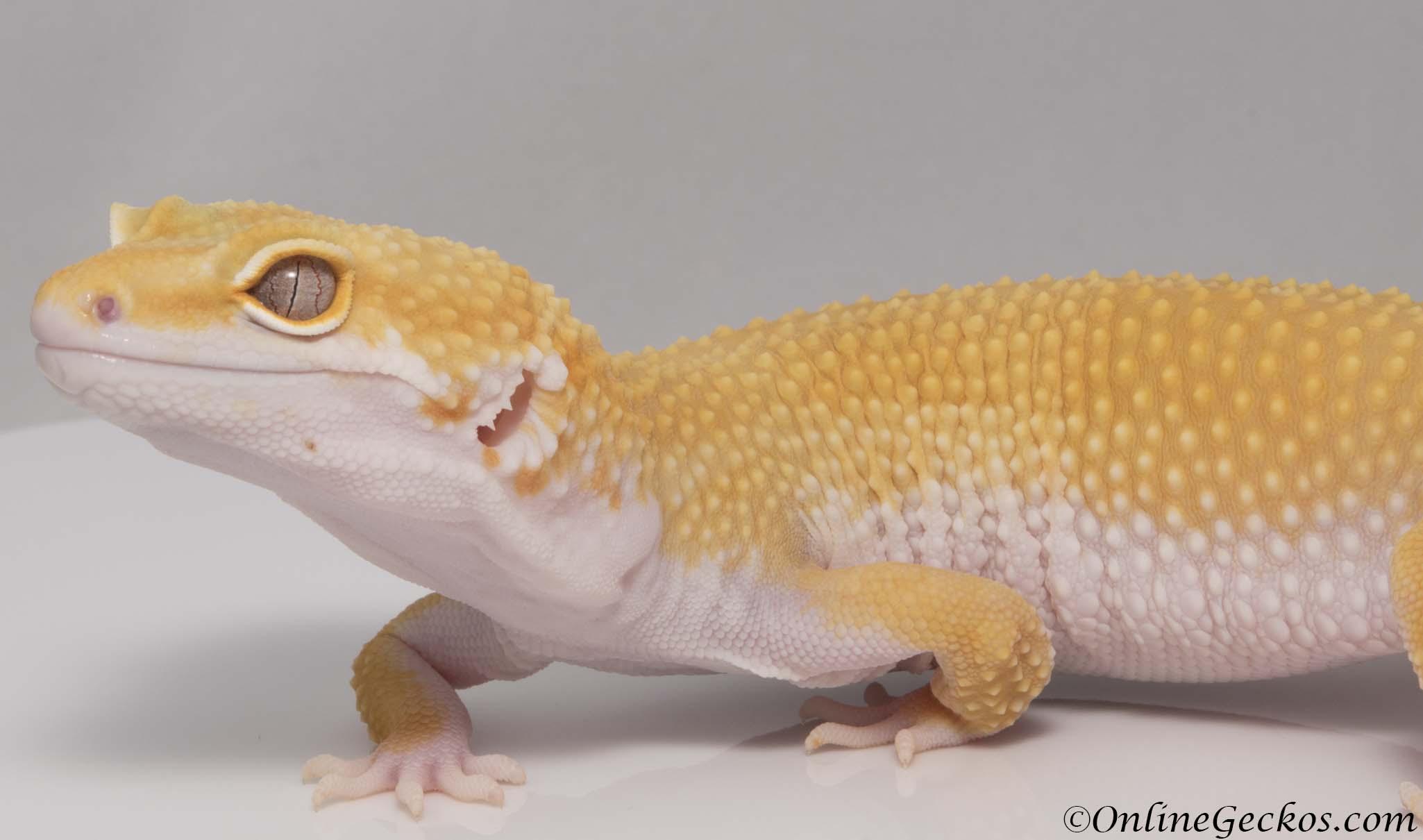 Leopard gecko for sale nvjuhfo Images