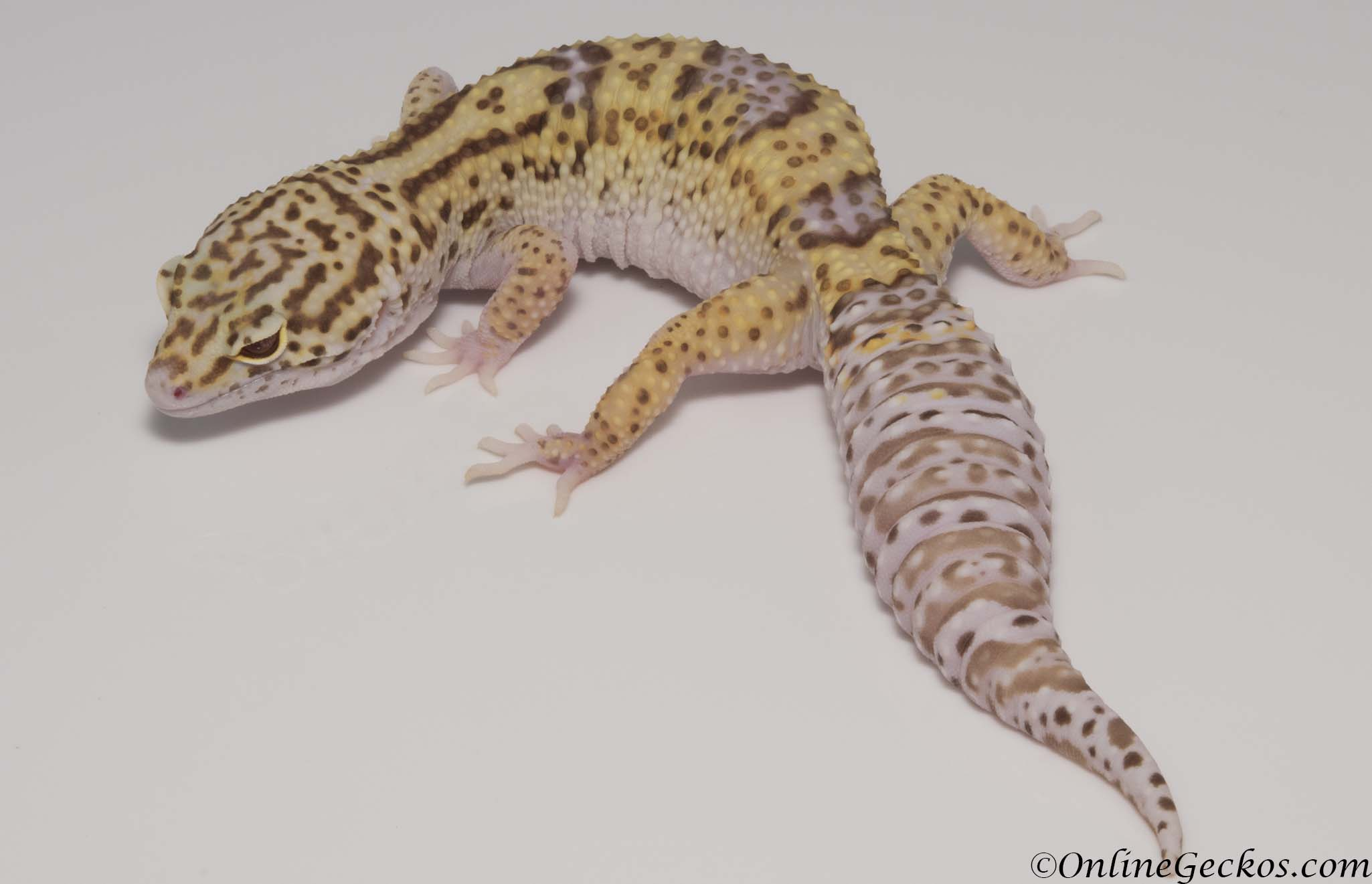 Sold - Radar het White Knight Female Leopard Gecko For Sale M22F66102817F
