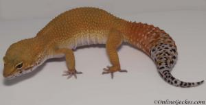 blood super hypo tangerine carrot-tail baldy leopard gecko for sale female