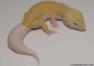 cyclone leopard gecko for sale male