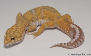 giant tangerine tremper albino leopard gecko for sale male