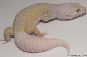 leopard gecko for sale bell blazing blizzard het white knight female