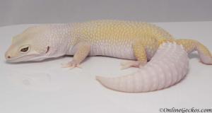 leopard gecko for sale bell blazing blizzard het white knight female M22F72091017F