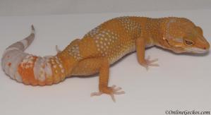 leopard gecko for sale blood albino female