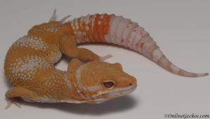 leopard gecko for sale blood albino male