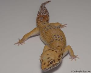 leopard gecko for sale blood bell albino het radar male