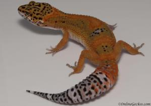 leopard gecko for sale blood tangerine