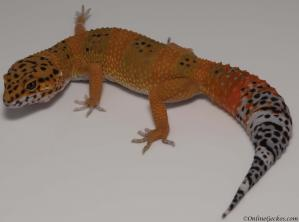 leopard gecko for sale blood tangerine het tremper female
