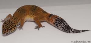 leopard gecko for sale blood tangerine female