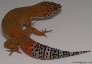 leopard gecko for sale blood tangerine het tremper male