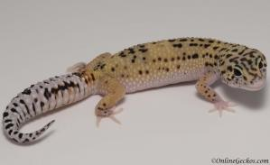 leopard gecko for sale eclipse female