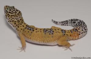 leopard gecko for sale giant high yellow male