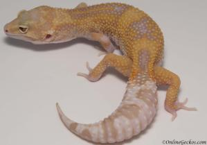 leopard gecko for sale giant raptor