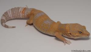 leopard gecko for sale giant tangerine tremper albino female