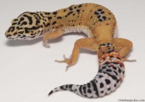leopard gecko for sale giant tangerine female