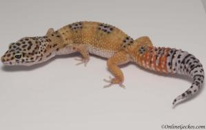leopard gecko for sale giant tangerine het tremper female