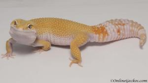 leopard gecko for sale giant tremper sunglow female M11F54062717F