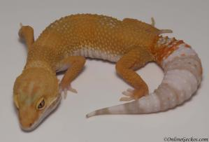 leopard gecko for sale giant tremper sunglow female