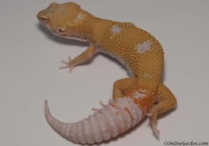 leopard gecko for sale giant tremper sunglow male