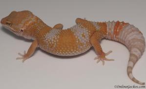 leopard gecko for sale high contrast blood albino female