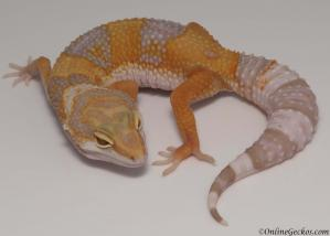 leopard gecko for sale high contrast tangerine albino female
