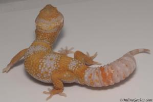 leopard gecko for sale high contrast tangerine tremper albino male