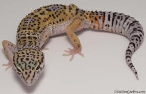 leopard gecko for sale high yellow het tremper albino female