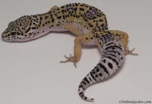 leopard gecko for sale high yellow het radar female