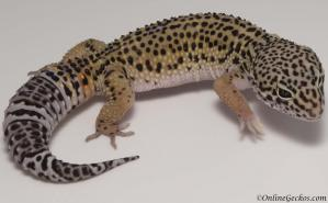 leopard gecko for sale high yellow het radar female