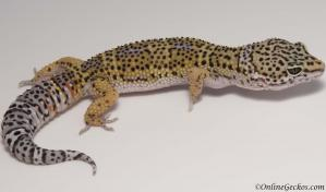 Leopard gecko for sale high yellow female
