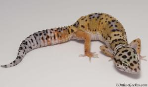 leopard gecko for sale high yellow het tremper female