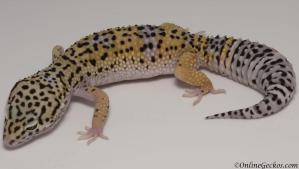 Sold - High Yellow het Tremper Albino Female Leopard Gecko For Sale M27F30071218F
