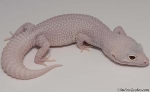 leopard gecko for sale mack snow diablo blanco female
