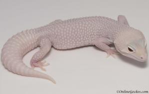 leopard gecko for sale mack snow diablo blanco female