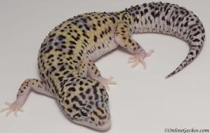 leopard gecko for sale mack snow eclipse female