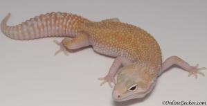 leopard gecko for sale mack snow raptor female