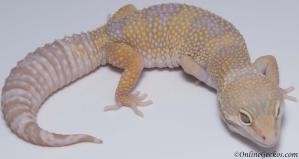 leopard gecko for sale mack snow tremper albino female