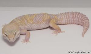 leopard gecko for sale mack snow tremper albino het diablo blanco female M15F59100117F