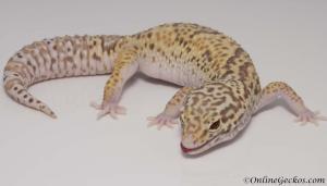 leopard gecko for sale radar het white knight female M22F66091017F