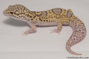 leopard gecko for sale radar het white knight male M22F66092417F2