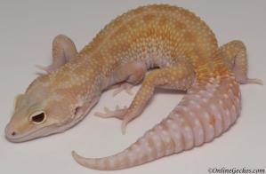 Leopard gecko for sale raptor female