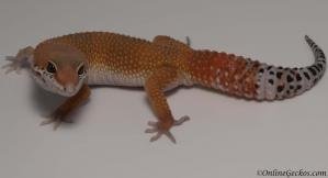 leopard gecko for sale super hypo tangerine carrot-tail baldy male