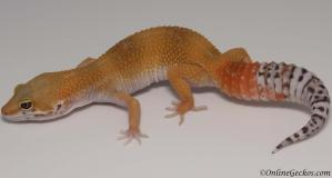 leopard gecko for sale super hypo tangerine carrot-tali het tremper female