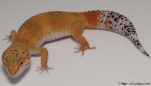 leopard gecko for sale super hypo tangerine carrot-tail female
