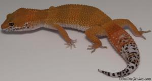 leopard gecko for sale super hypo tangerine carrot-tail baldy female